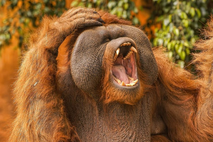 Orangutan alarm cries may be the basis of the first human words. (Oliver Clarke/Flickr)