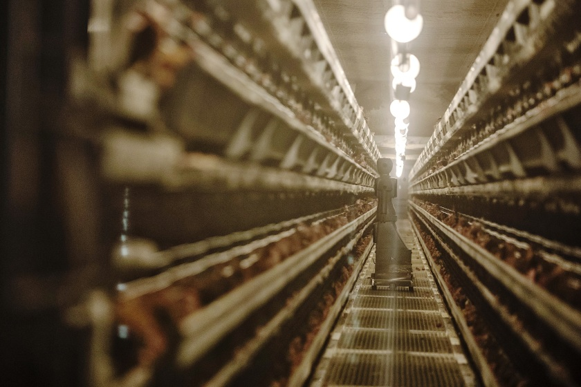 A sensor-filled humanoid robot inspects hens in coops at a Charoen Pokphand Group Co. (CP Group) egg processing facility in Beijing, China, on Thursday, Oct. 27, 2016. (Qilai Shen/Bloomberg via Getty Images)