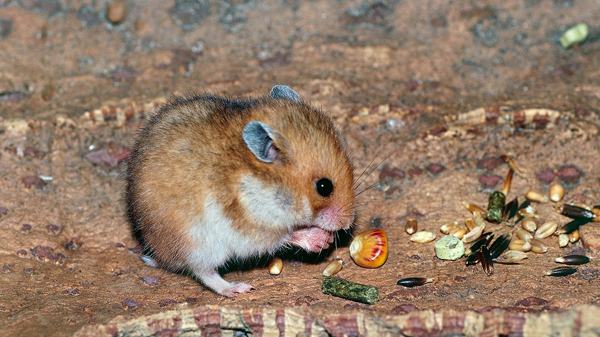Wild Hamsters Turning Into Cannibals