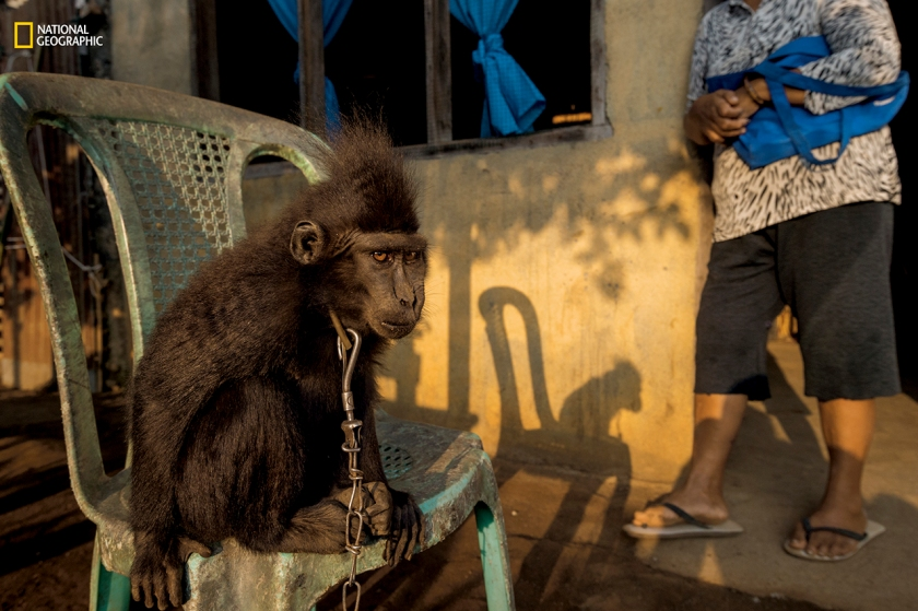 "Stolen from the wild, young Nona (Nona means ""Miss"") leads a chained existence with a family in Kumersot. Keeping endangered yaki as pets is illegal; animal welfare groups are working to find and rescue them. (Stefano Unterthiner/National Geographic)"
