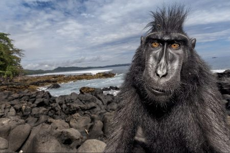 A crested black macaque hangs out beachside in a nature reserve on Sulawesi. In studying these intriguing monkeys, known locally as yaki, scientists are learning how their social structure illuminates human behavior. (Stefano Unterthiner/National Geographic)