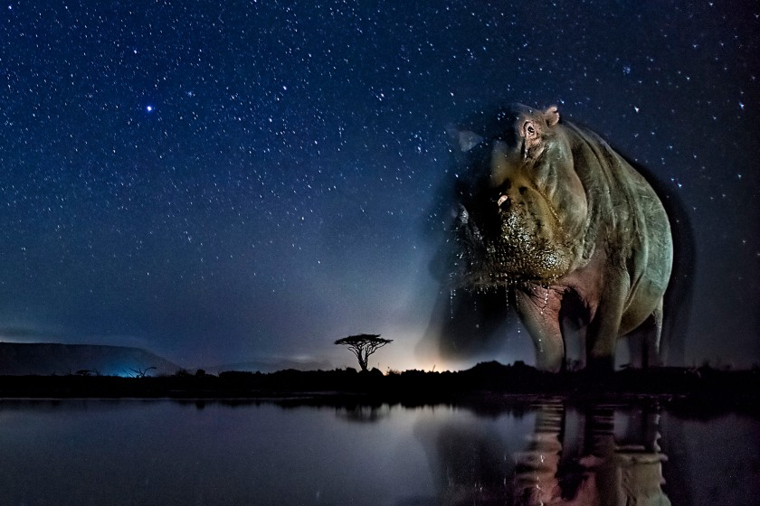 Nature - Third Prize, Stories: Hippatamus under the starry sky. These photos combine a well-known natural phenomenon: the starry sky and portraits of wild animals not visible to the naked eye. The series needed very accurate planning, research and preparation as the photos were made with remote control, and no modification was possible while capturing the photos. (Bence Máté)