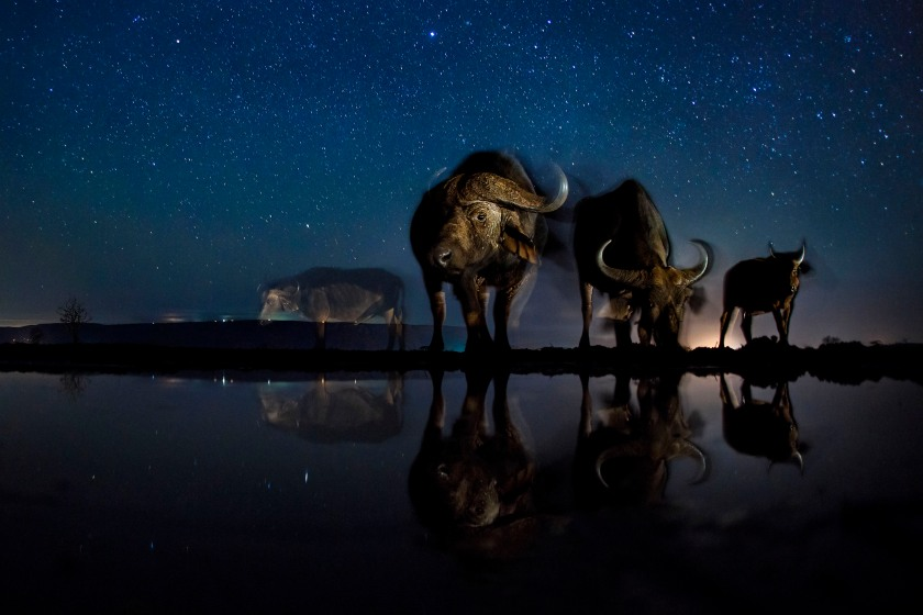 Nature - Third Prize, Stories: Buffalos at the drinking station. These photos combine a well-known natural phenomenon: the starry sky and portraits of wild animals not visible to the naked eye. The series needed very accurate planning, research and preparation as the photos were made with remote control, and no modification was possible while capturing the photos. (Bence Máté)