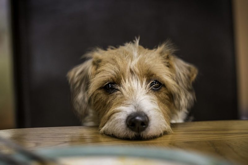A brown and white Parson's Terrier sits at a dinner table with an empty plate visible in front of it