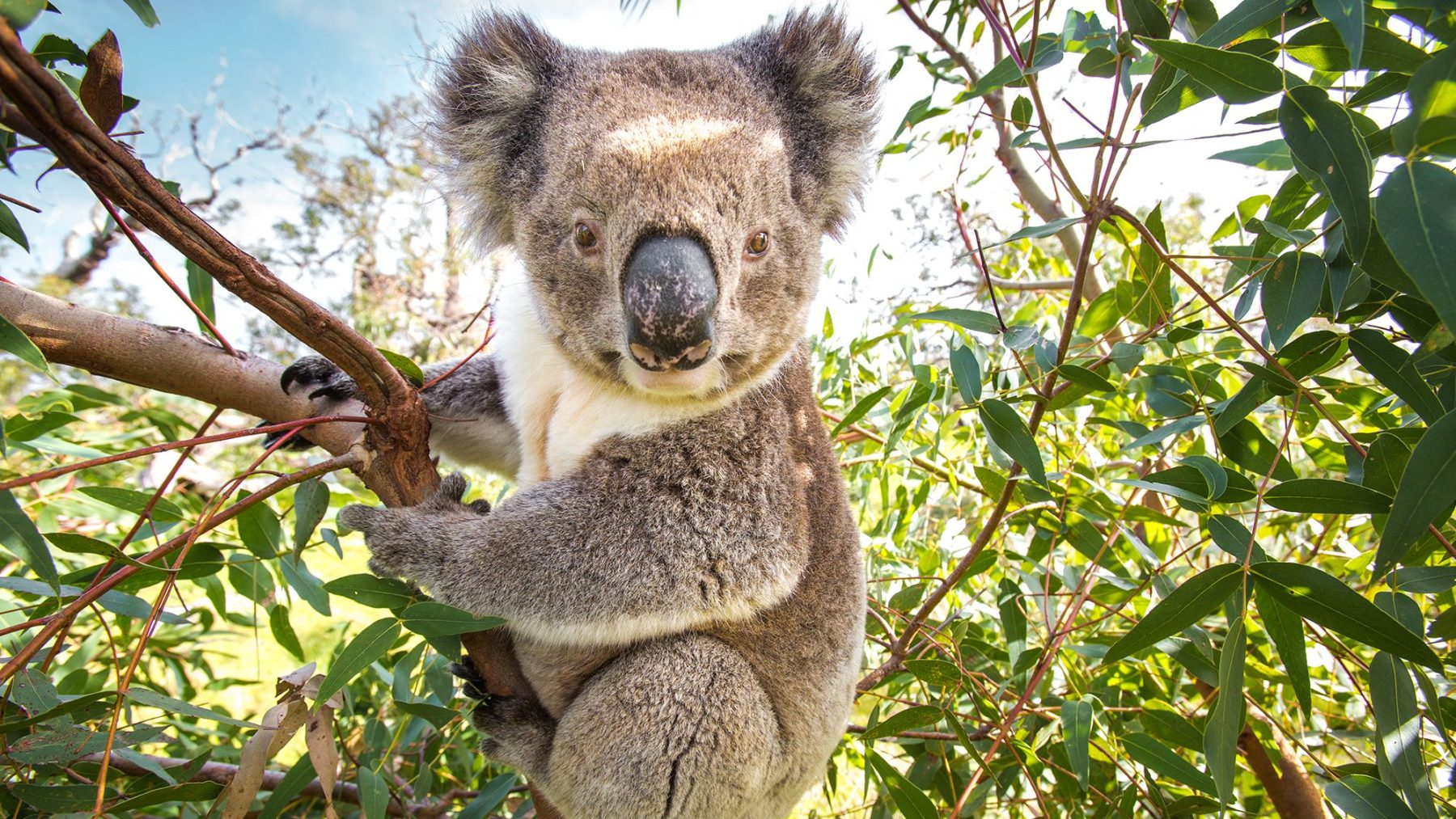 The koala's days are numbered