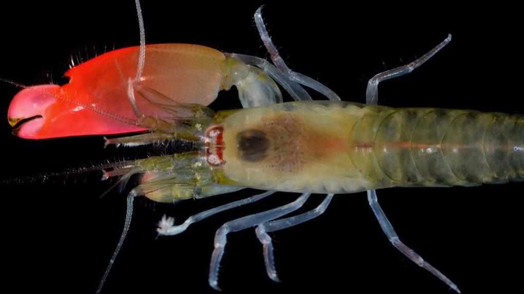 New Species of Shrimp Names After Pink Floyd