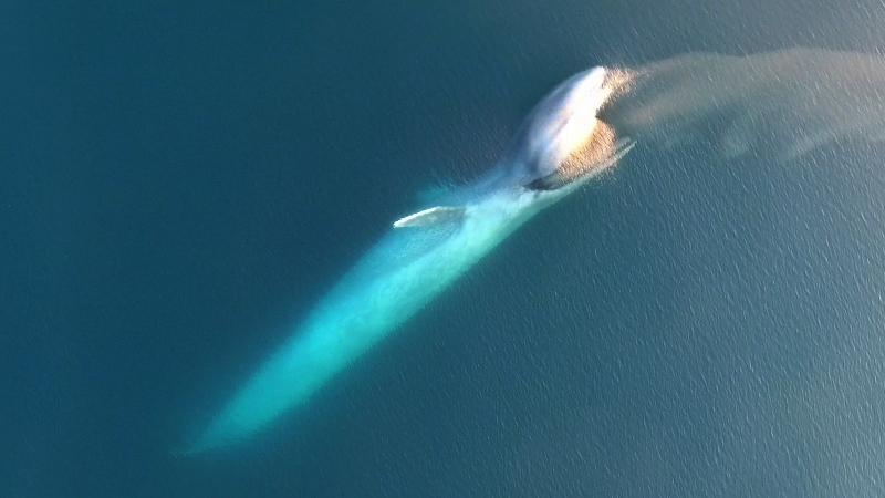 Blue whale seen hunting from the air (Oregon State University)