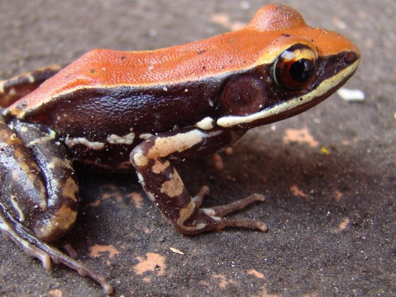 Hydrophylax bahuvistara, a frog with flu-killing peptides in its mucus. (Sanil George & Jessica Shartouny)