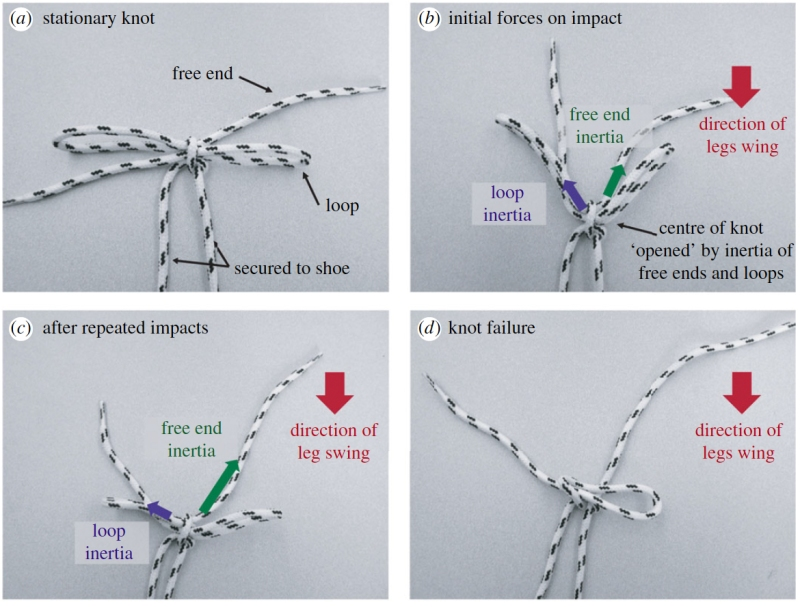 As the leg is swung backwards to impact the ground, the inertia of the free ends and loops pull open the center of the knot. If the free end and loops are approximately the same length, these forces will be comparable. If the knot center is tightened, frictional forces will somewhat ameliorate the inertial force imbalance. Repeated impact causes the center of the knot to incrementally loosen which reduces frictional effects and magnifies the effects of the inertial imbalance between the free ends and loops. (Daily-Diamond CA, Gregg CE, O'Reilly OM., Proc. R. Soc. A, 2017)