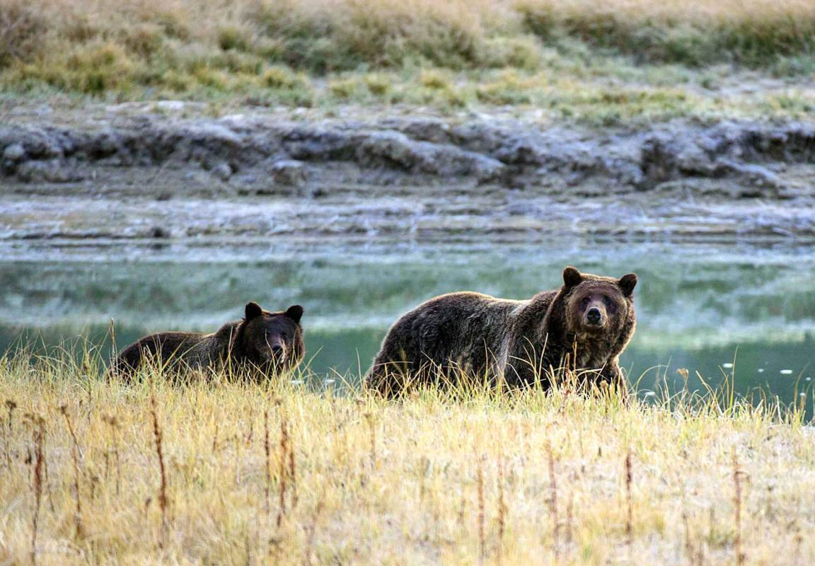A Grizzly bear mother and her cub walk near Pelican Creek October 8, 2012 in the Yellowstone National Park in Wyoming. (Karen Bleier/AFP/Getty Images)
