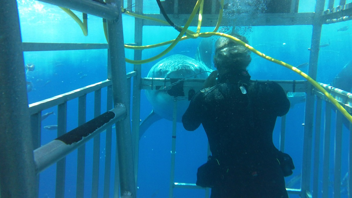 Swimming with Great White Sharks