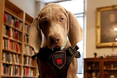 Riley, a twelve-week-old Weimaraner, poses for a portrait at the Museum of Fine Arts Boston on Jan. 9, 2018. (Suzanne Kreiter/The Boston Globe via Getty Images)