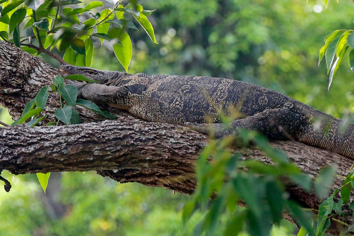 A monitor lizard lies in a tree in the Khao Yai national park on March 18, 2017 in Bangkok, Thailand. (Photo by Isa Foltin/Getty Images)