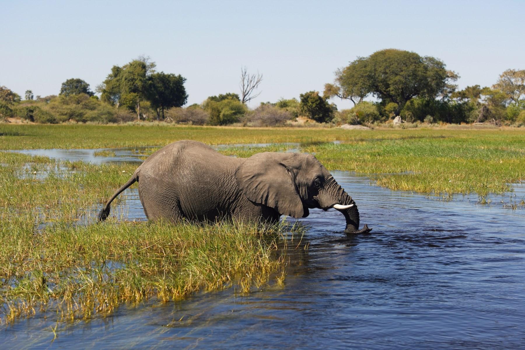 Botswana. Okavango Delta. Xigera Camp. Safari. Elephant. (Photo by: Marka/UIG via Getty Images)