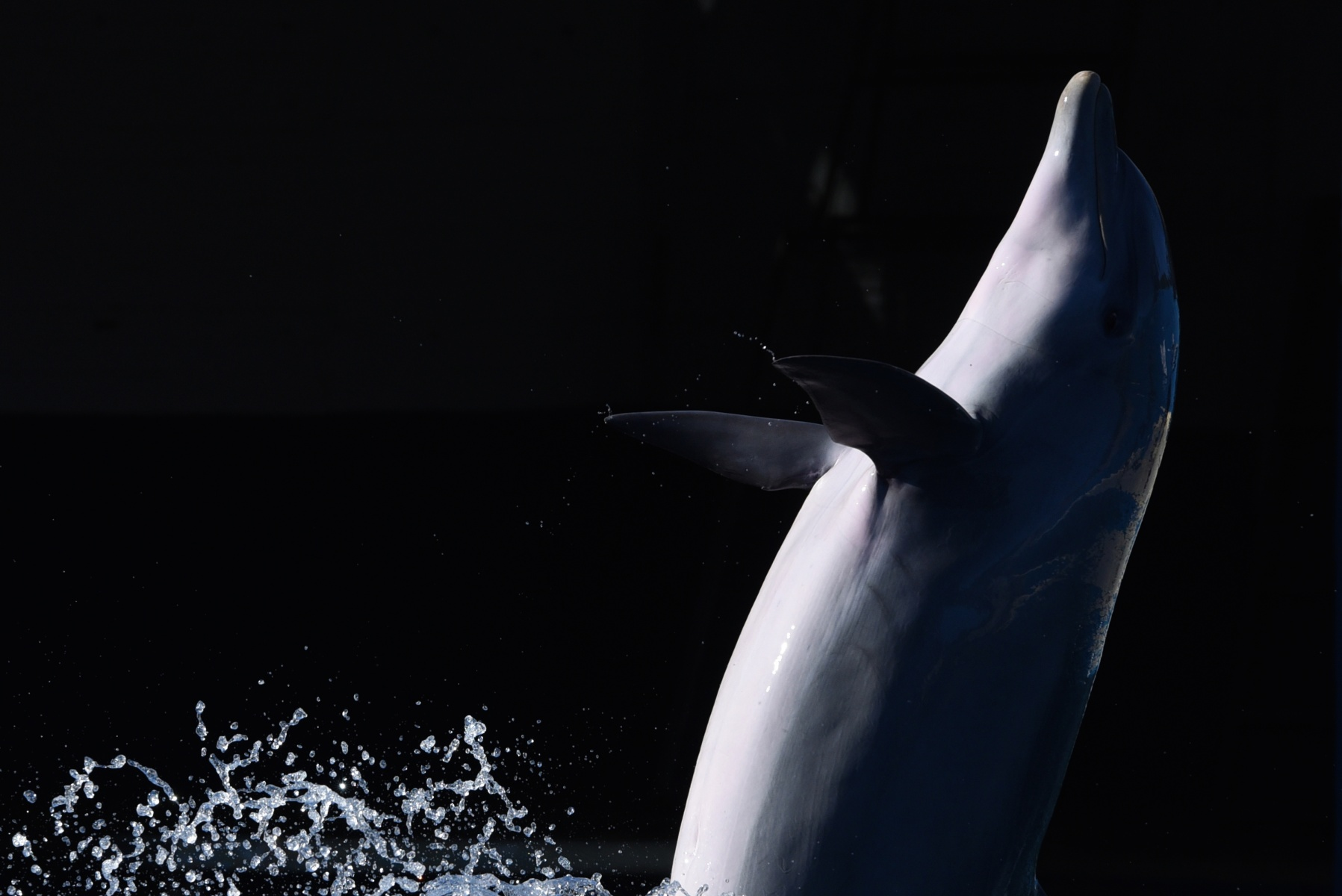 A Common bottlenose dolphin (Tursiops truncatus truncatus) pictured during a show at Madrid Zoo and Aquarium. (Photo by Jorge Sanz/Pacific Press/LightRocket via Getty Images)