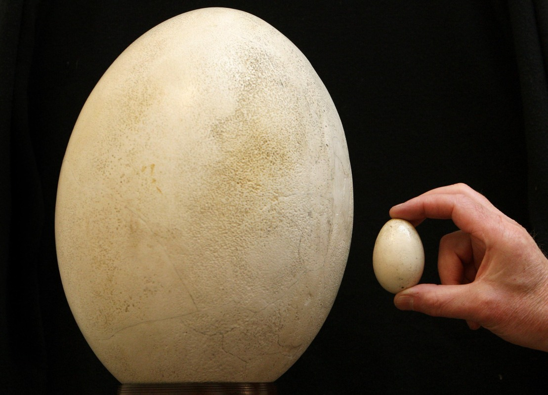 The egg of a Giant Elephant Bird of Madagascar. The elephant bird recently reclaimed its title as the largest bird in history. (Photo by Dominic Lipinski - PA Images/PA Images via Getty Images)