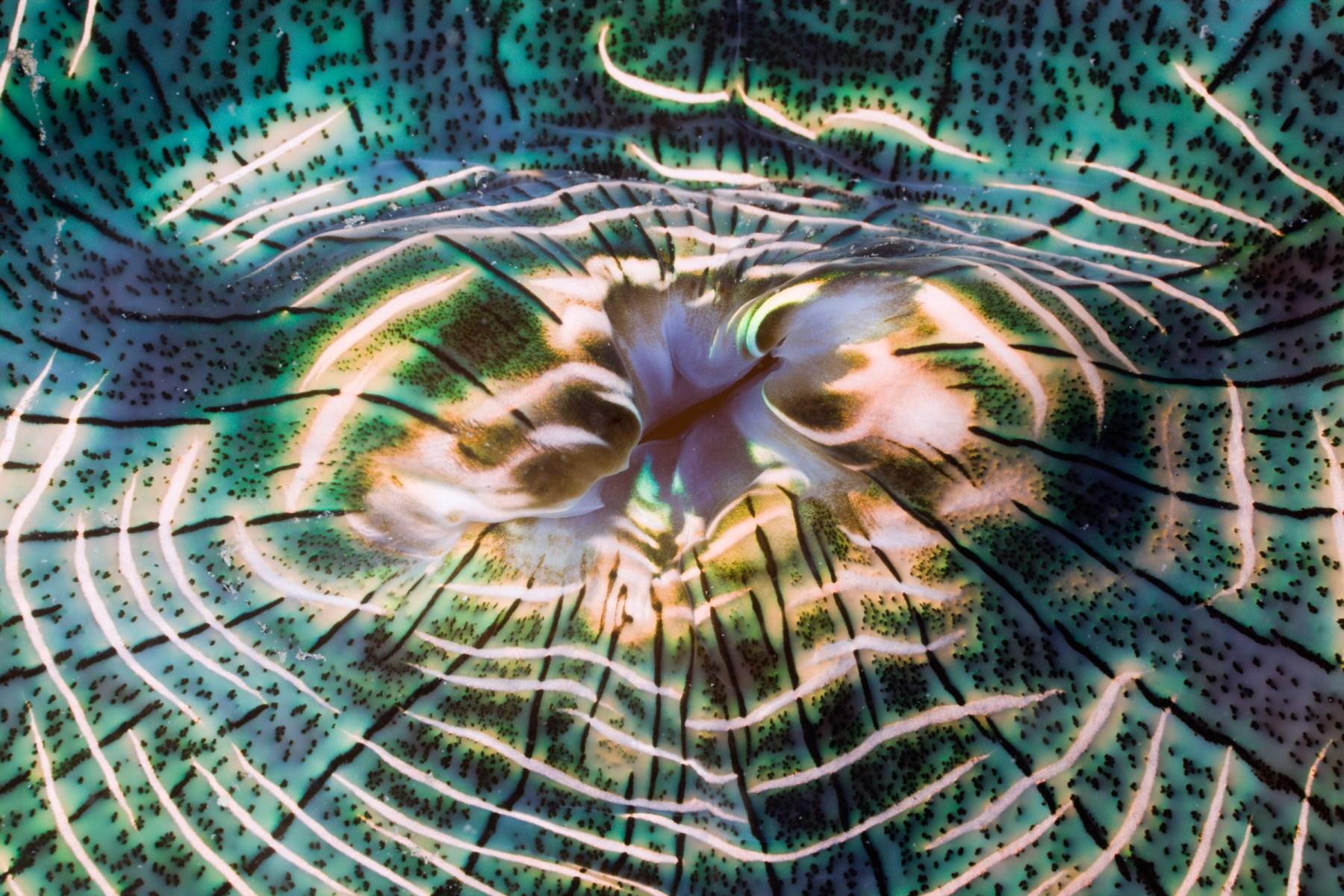 Irisierender Mantel einer Riesen-Muschel, Tridacna Squamosa, Mikronesien, Palau | Iridescent Mantle of Giant Clam, Tridacna Squamosa, Micronesia, Palau
