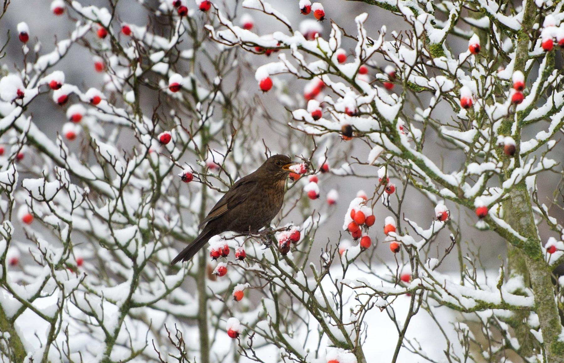 A blackbird picks a rosehip from a snow-covered shrub on January 5, 2017 in Dresden, eastern Germany. Drunk birds in Gilbert, Minnesota have been feeding off fermented berries and causing damage. (Photo by ARNO BURGI/AFP/Getty Images)