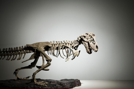 Stock footage of a large carnivorous dinosaur skeleton (Getty)