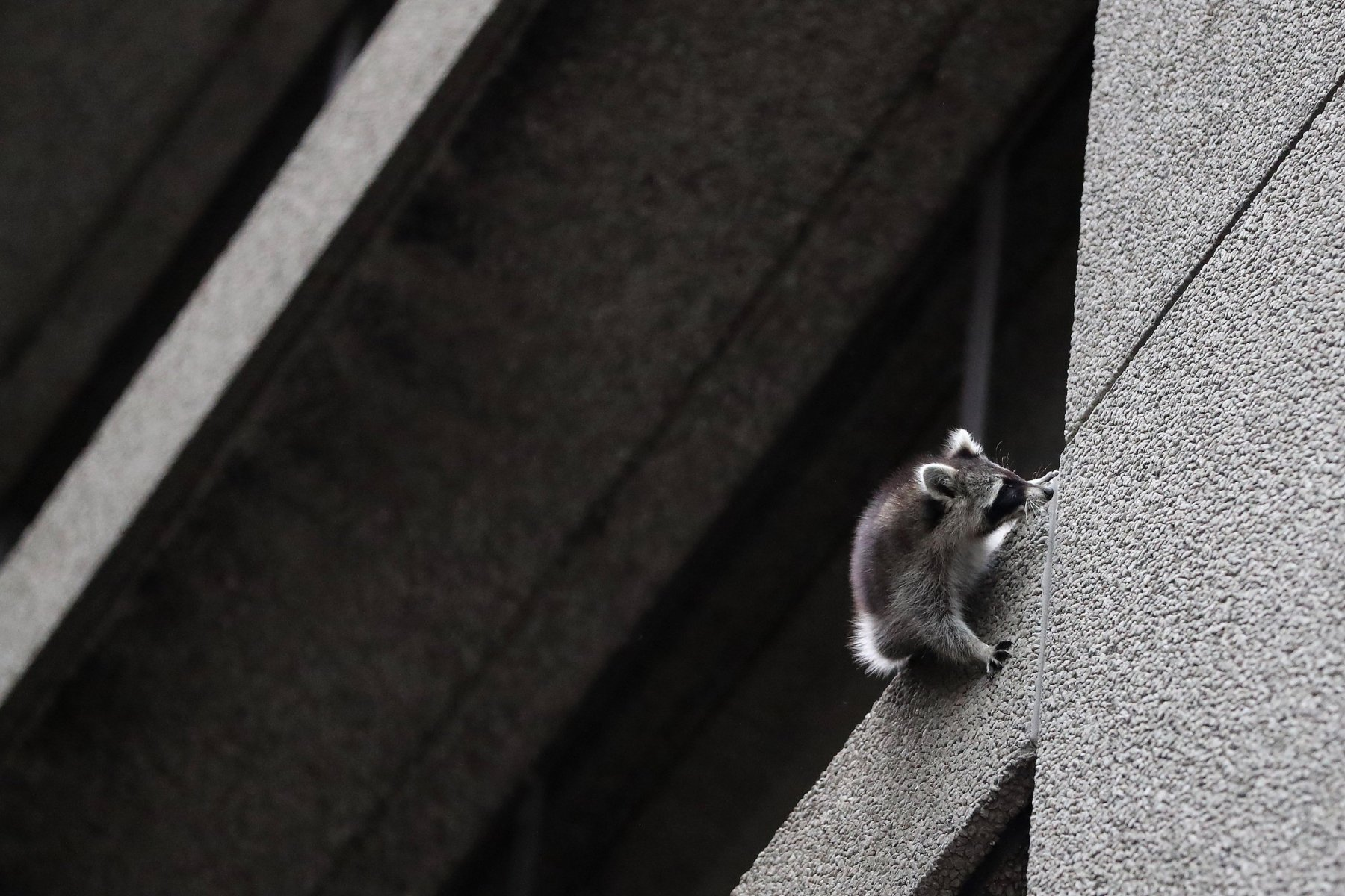 A raccoon is stranded on a fourth floor ledge on the Toronto Star building at One Yonge Street. The ledge is at a 45 degree angle. at  in Toronto. Toronto is engaged in a years-long, playful war against its raccoons. (Steve Russell/Toronto Star via Getty Images)