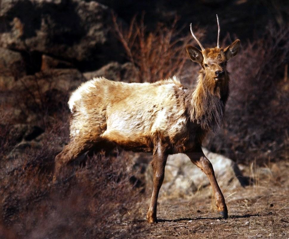 chronic wasting disease elk deer moose