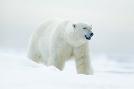 Rogue Polar Bears Are Currently Holding 10 Russian Scientists Hostage