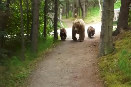 A Brief Guide to Keeping Your Cool While Three Grizzly Bears Follow You Home