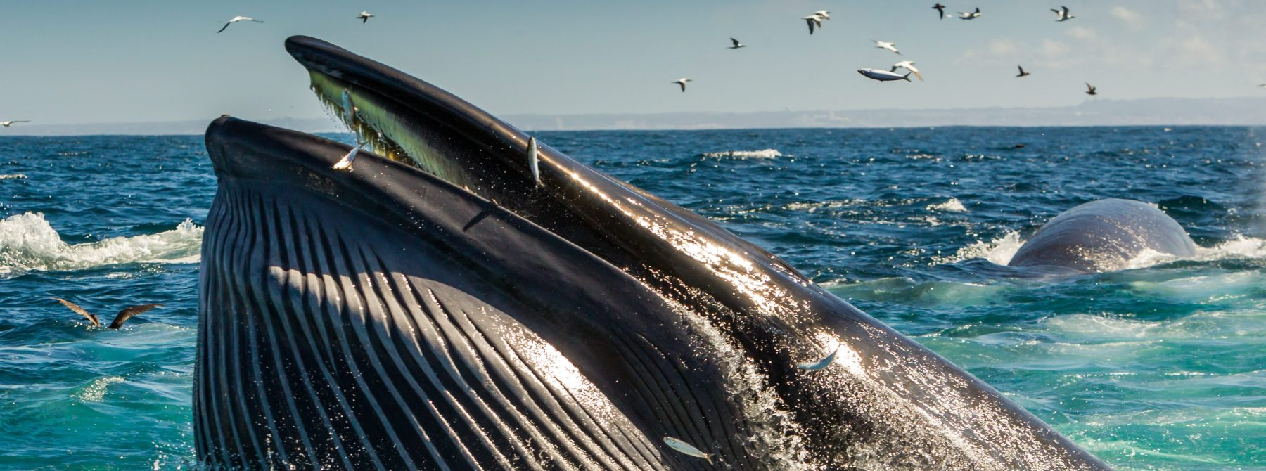 A whale tracks the annual sardine run, the biggest migration of marine wildlife on the planet,on March 7, 2018 in Port Elizabeth, South Africa.