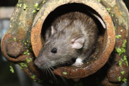 There's a 99% Chance This Documentary About Rats Will Be the Year's Scariest Movie