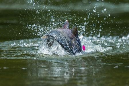 Washington Just Declared Open Salmon Season After a Farm Breach