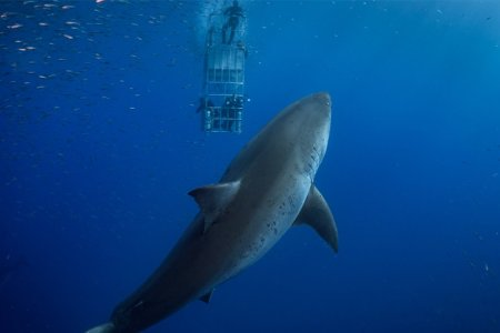 Ever Seen a Great White Shark Get Stuck in a Cage Full of Food, Er, Divers?