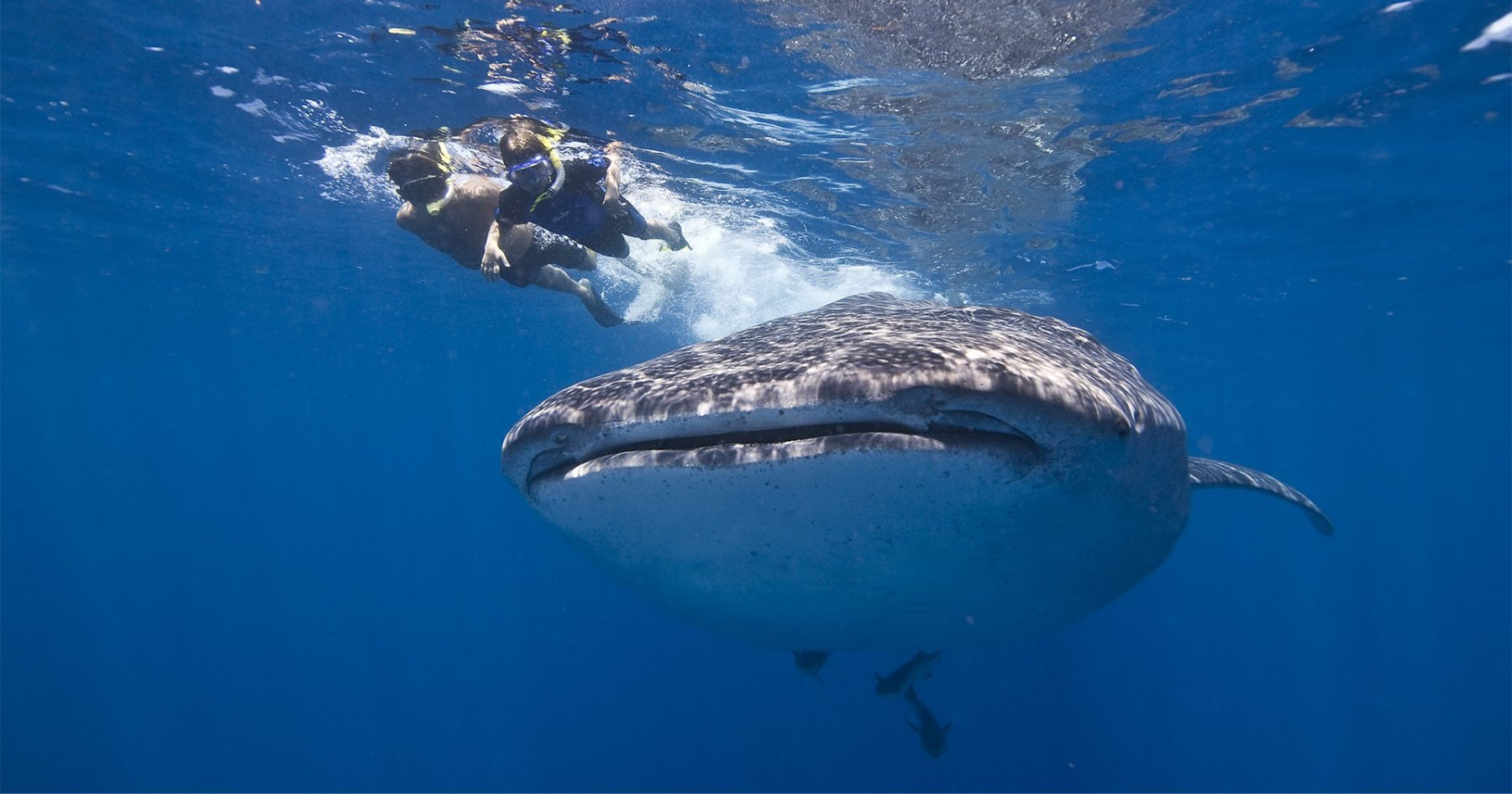 Here's What It's Like to Swim With Whale Sharks