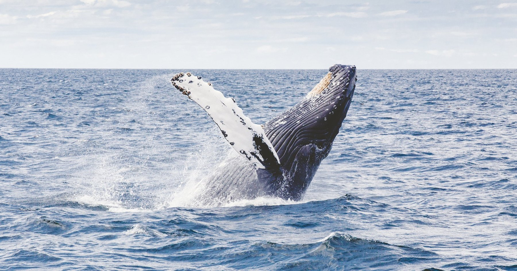 Over a Century Later, the Whales Have Returned to NYC