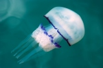 Barrel jellyfish