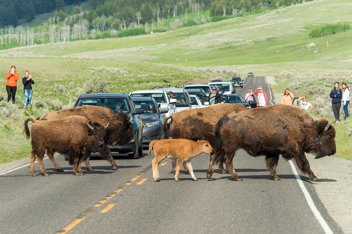 A group of wild bison and their newborns crossing a two-lane road in Yellowstone National Park while park visitors in cars and on the grass watch and take photos and video on their phones