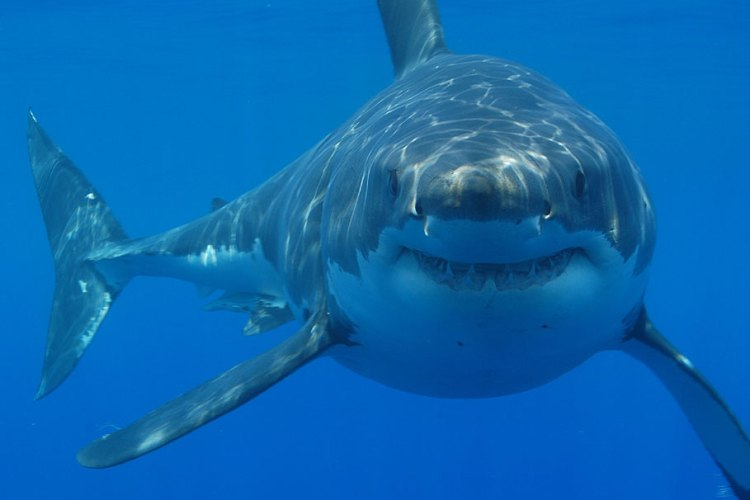 Cape Cod Wrestles With An Increased Shark Population