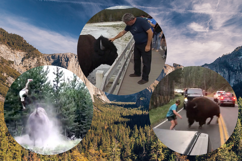 Yosemite National Park Bison Viral Videos