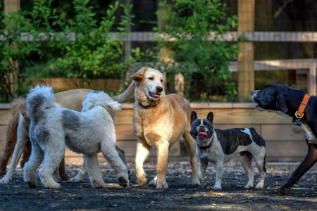 Chubbs, a golden retriever, center, convenes a grouping of canines at a small dog park which is causing some friction between locals, in Chevy Chase, MD. (Photo by Bill O'Leary/The Washington Post via Getty Images)