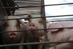 pig slaughterhouse