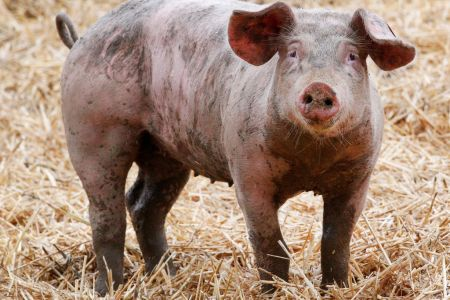 China Is Breeding Pigs Weighing More than 1,000 Pounds