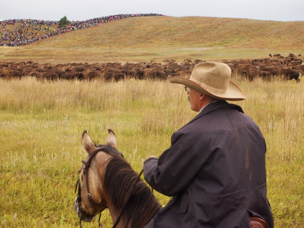 Playing Cowboy for a Day: A Report From the Trenches of the Custer State Park Buffalo Roundup