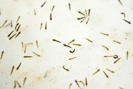 Mosquito larvae in a laboratory at the Center for Scientific Research Caucaseco in the outskirts of Cali, Colombia.