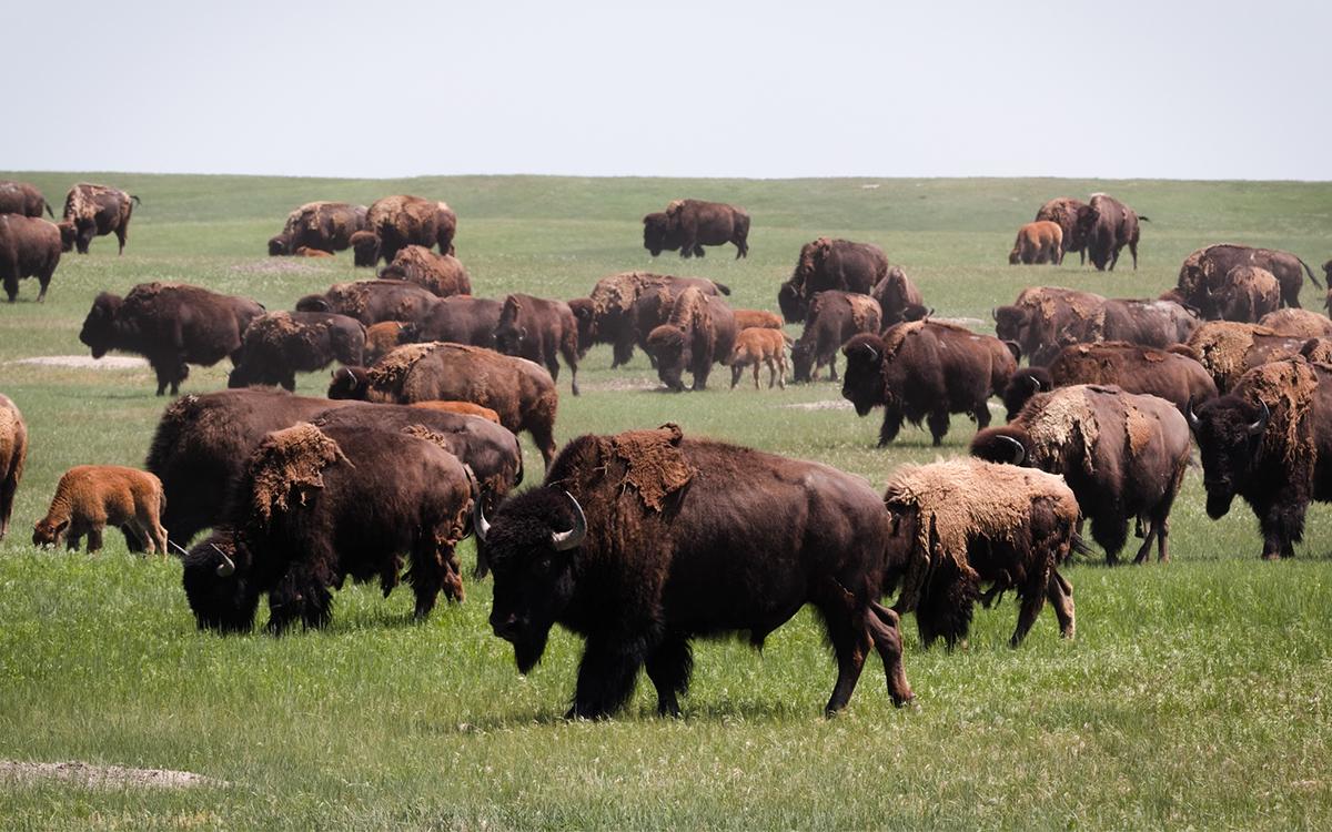 Bison Return to Badlands National Park