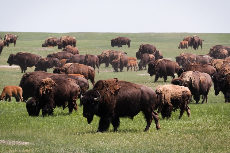 Bison Return to Badlands National Park for First Time Since Late-1800s