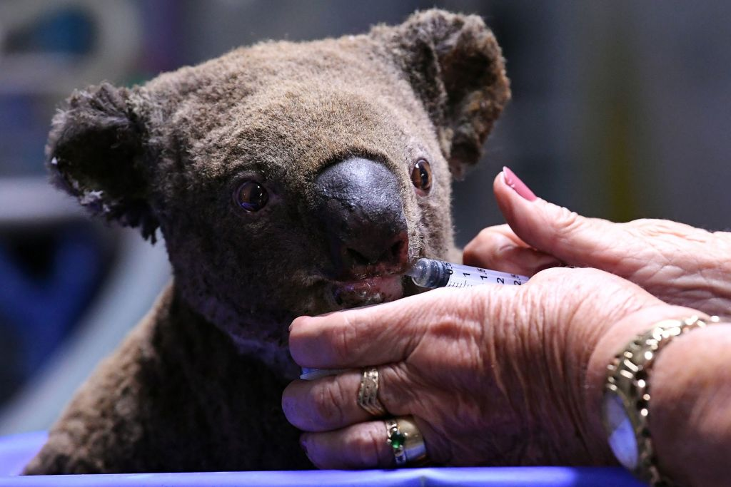 A dehydrated and injured Koala receives treatment at the Port Macquarie Koala Hospital in Port Macquarie on November 2, 2019, after its rescue from a bushfire that has ravaged an area of over 2,000 hectares. - Hundreds of koalas are feared to have burned to death in an out-of-control bushfire on Australia's east coast, wildlife authorities said October 30. (Photo by SAEED KHAN / AFP) (Photo by SAEED KHAN/AFP via Getty Images)