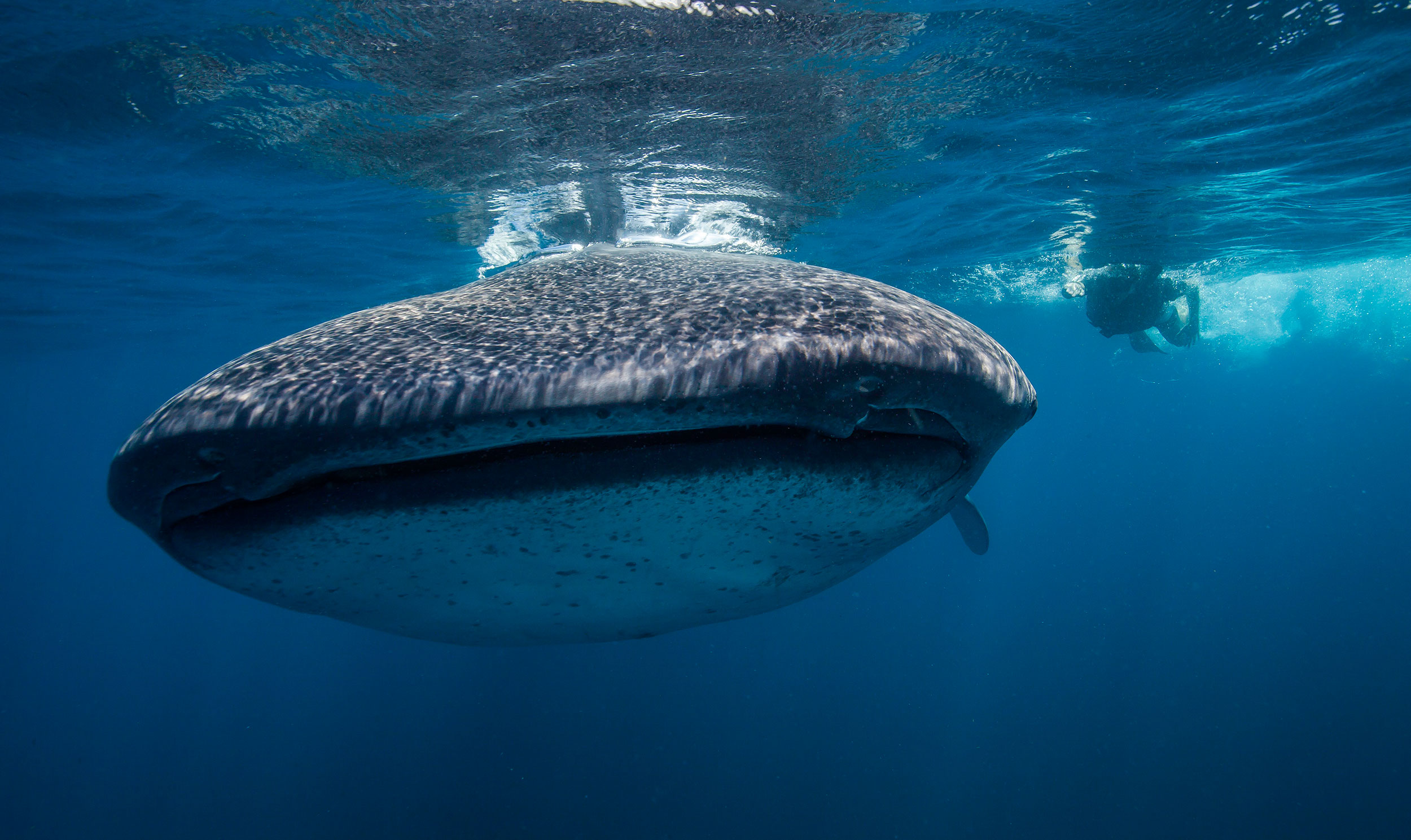 ethical whale shark swimming mexico