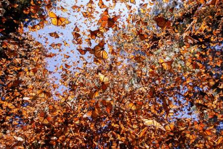 Monarch butterflies in the El Rosario sanctuary in Mexico