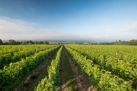 English vineyards at Nyetimber