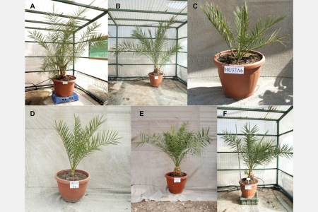Scientists Grow Date Palms From 2,000-Year-Old Seeds