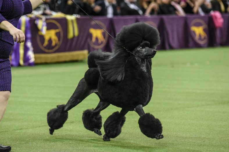 Westminster Kennel Club Crowns Standard Poodle as Top Dog